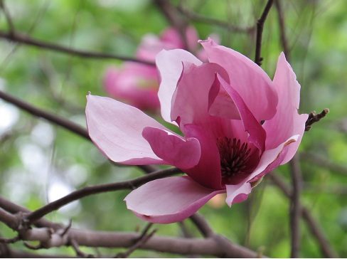 magnolia_Jane
