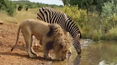 lion-zebra-water-hole
