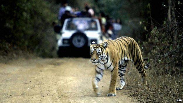 tiger_bbc